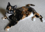 Calico Cat graphic