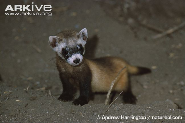 Black-footed ferret infant graphic