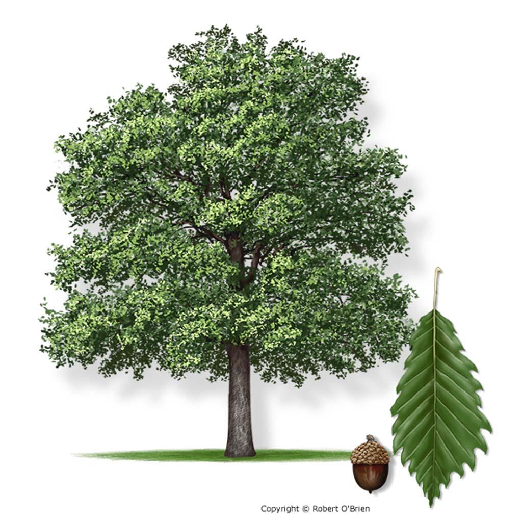 Ellison Oak Tree