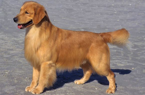 Golden Retriever graphic