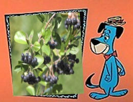 Huckleberry Hound and a Huckleberry bush graphic