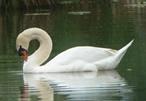 Swan graphic