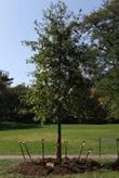 Newly planted oak tree